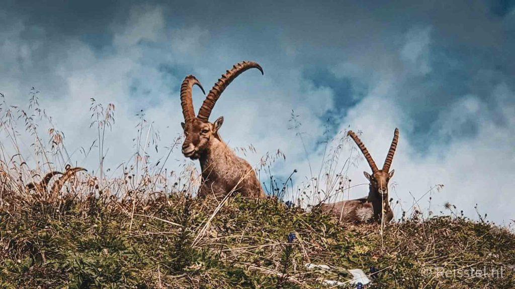 Hike Augstmatthorn steenbokken header